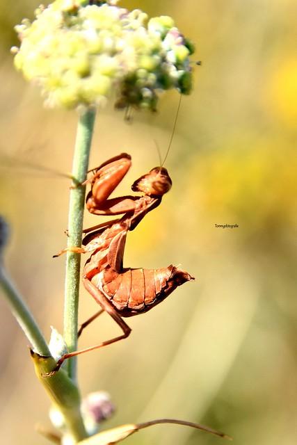 European dwarf Mantis, Ameles spallanzania