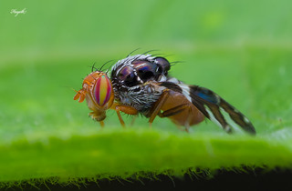 Fruitfly with stunning eyes | by walksthewildside