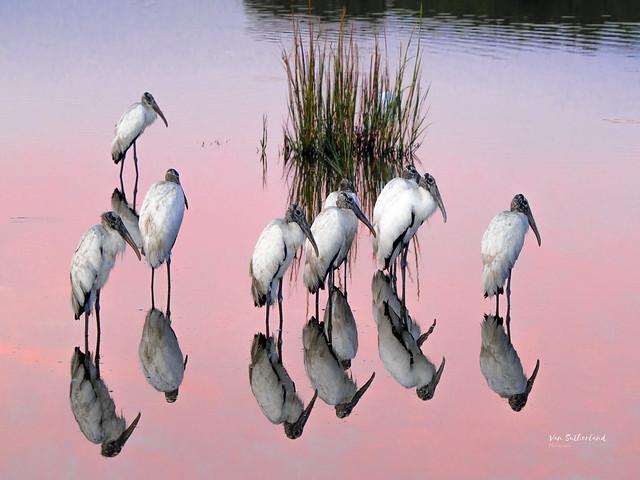 American Wood Storks, morning light
