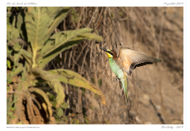 Le guêpier   European bee-eater