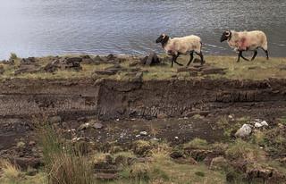 Patrolling a peat bog.  Ireland.