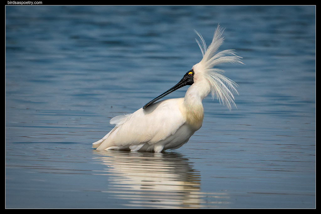 Royal Spoonbill: Let it all Hang Out