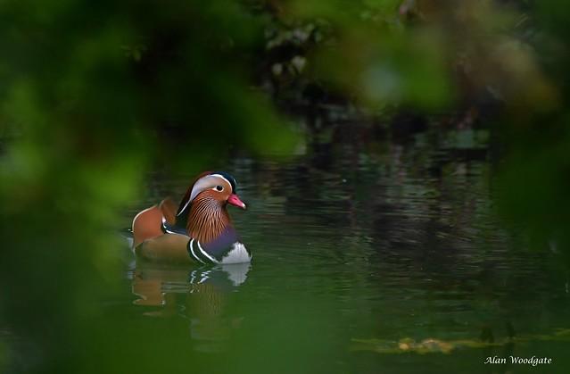 Mandarin Duck - Bedfordshire