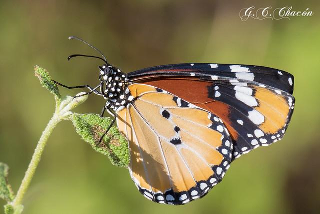 Danaus chrysippus (Mariposa tigre)