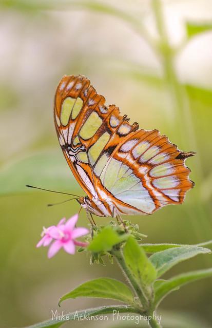 Butterfly (66)
