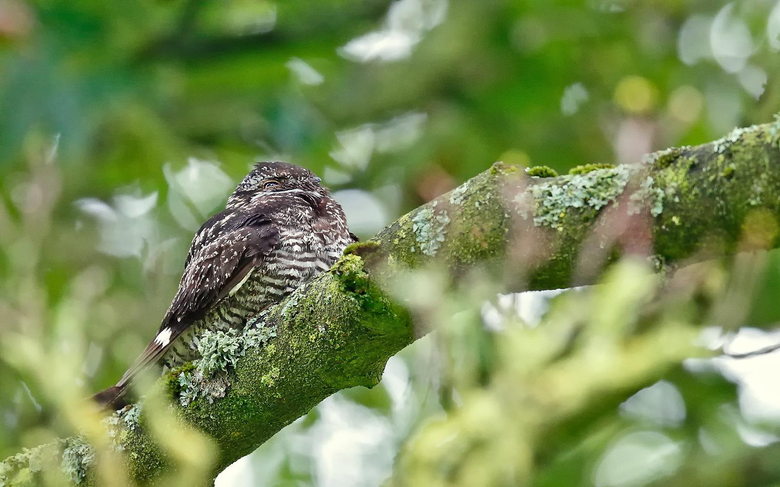 Common Nighthawk - male