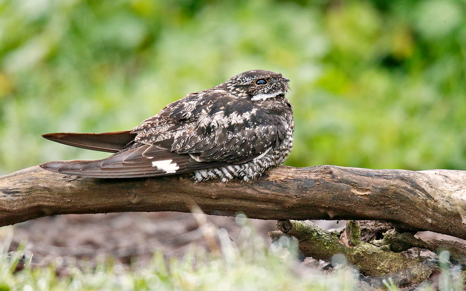 Common Nighthawk - male