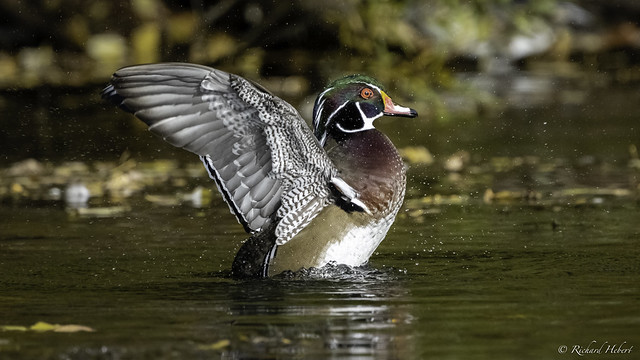Canard Branchu Male / Wood Duck