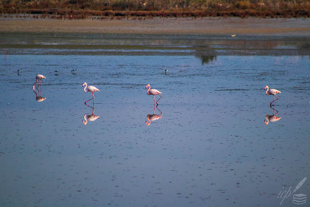 Three Marching Flamingos & One Hungry