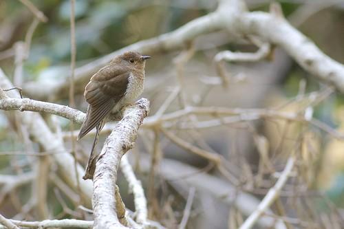 Brush Cuckoo (Cacomantis variolosus), Brisbane, Queensland, Australia