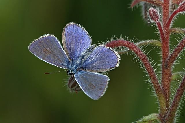 Icarus blue still late in the season