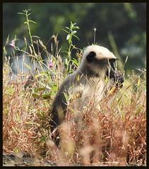 Golden Langur @ SGNP