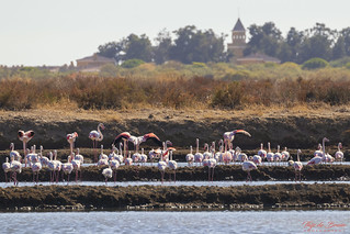 Flamingo's @ Parque Natural da Ria Formosa