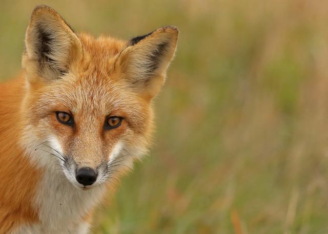 Red Fox...#112