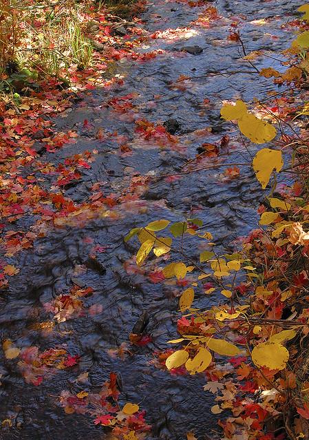 Autumn leaves afloat on City Creek