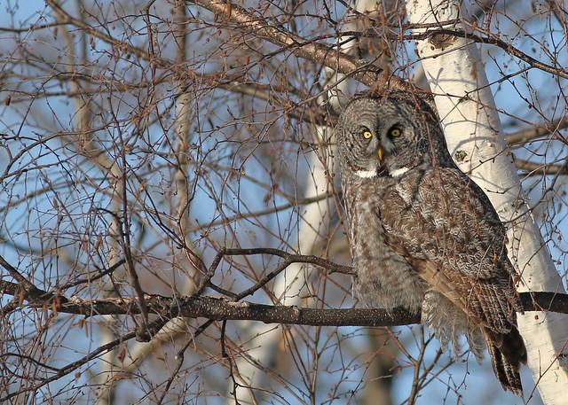 Great Gray Owl...#23