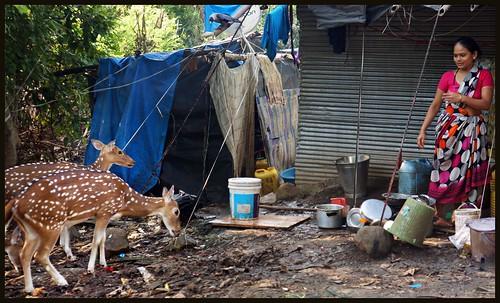 Man+Animal=No Conflict  :  Spotted Deer @ Adivasi Pada in SGNP