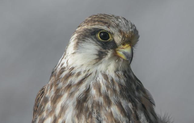Fiatal kék vércse (Falco vespertinus)