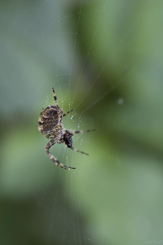 Macros/  proxi/  insectes  - Page 17 48898299816_649109fe19_o