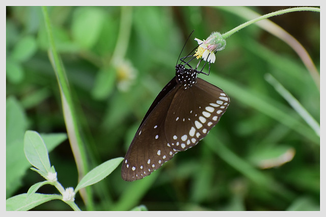 common crow butterfly feeding on a flower.