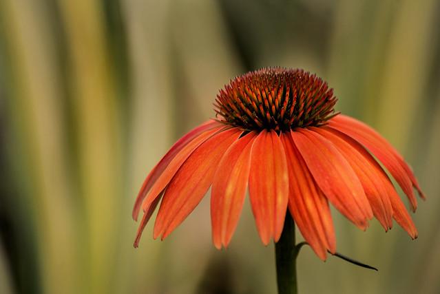 Orange Cone Flower 3-0 F LR 9-1-19 J135