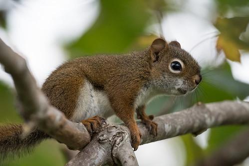 americanredsquirrel canada capebretonisland margareeforks northamerica novascotia tamiasciurushudsonicus animal fauna rodent squirrel