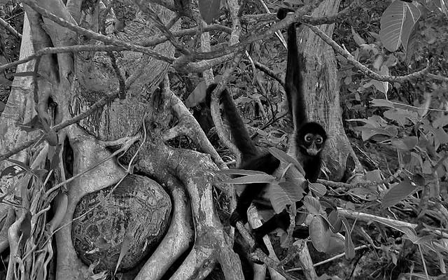 MEXICO, Yukatan , Chiapas ,  Gibbons und tolle Bäume im Sumidero Canyon, 19333/12015