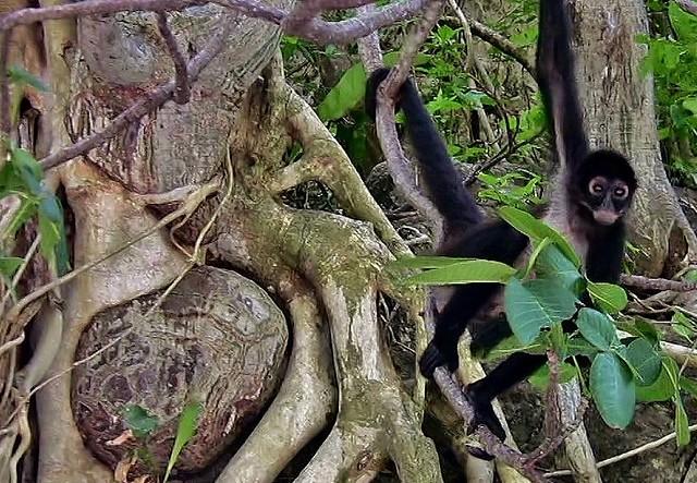 MEXICO, Yukatan , Chiapas ,  Gibbons und tolle Bäume im Sumidero Canyon, 19336/12018