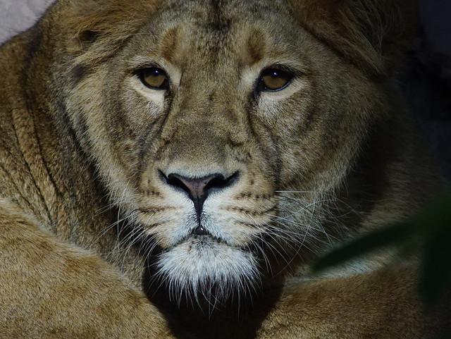 Tg Nbg                    Lioness                191014