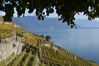 Vignes de Saint Saphorin ( Lavaux) Suisse