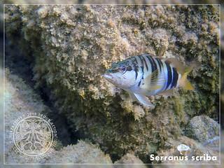 Serranus scriba