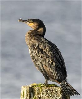Mull 2019 - Cormorant