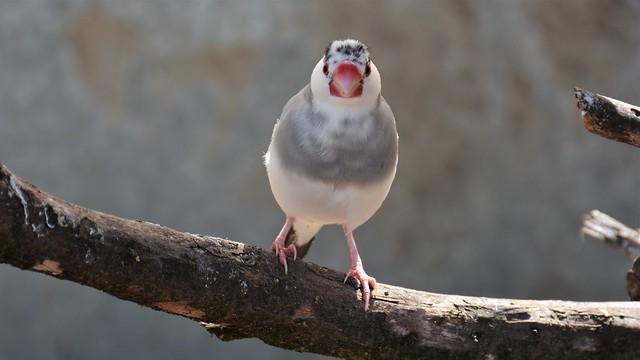 White (Zebra) Finch