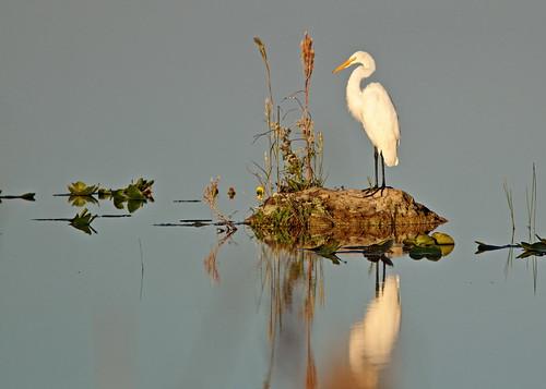 Great Egret in morning light 01-0190114
