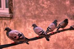 Pigeons Online