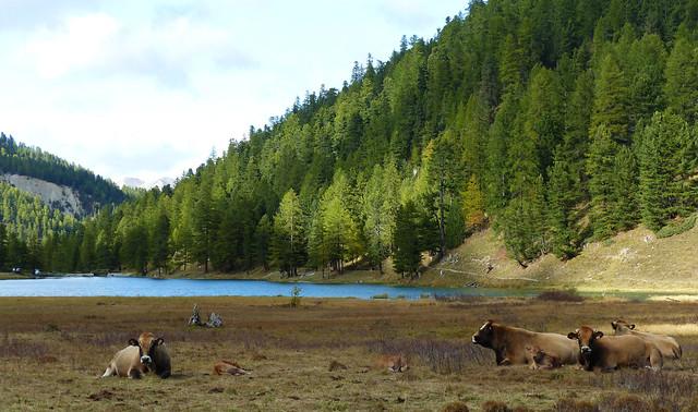 Troupeau au bord du lac de l'Orceyrette