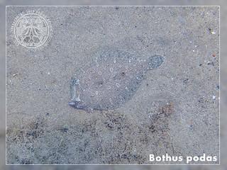 Bothus podas