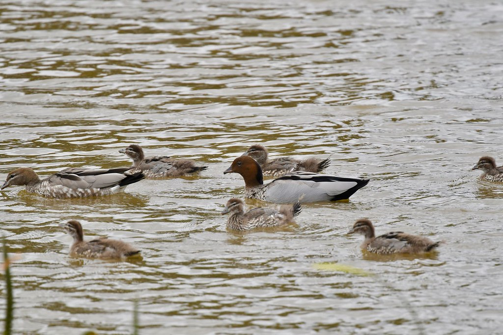 Wood Ducks ( family outing )