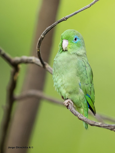 Spectacled Parrotlet (Forpus conspicillatus) male-macho | by Jorge Chinchilla A.