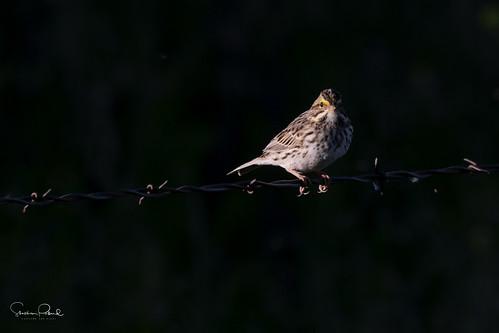 gorriónsabanero bird ave passerculussandwichensis savannahsparrow