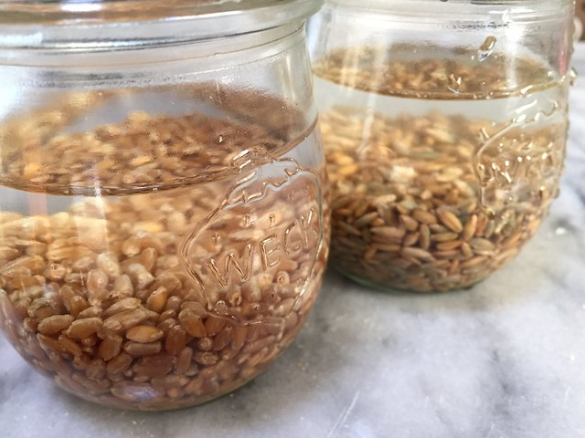 Sprouting wheat and rye berries