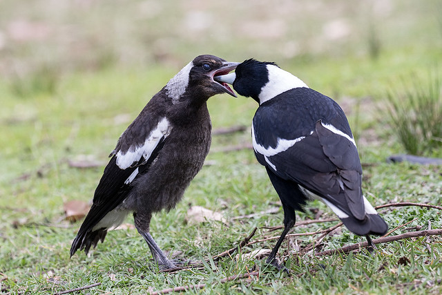 Australian Magpie 199 9603