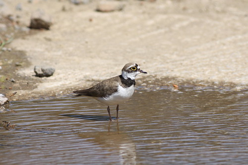 Little Ringed Plover (Charadrius dubius), Achladeri Stream, Lesvos. 8th May 2011. IMG_8868