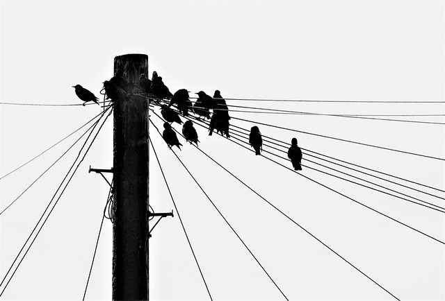 Starlings - Pole Line Lodgers