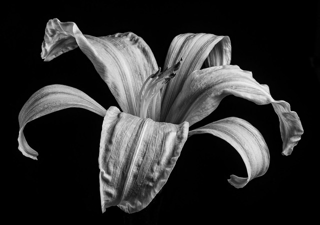 Yellow Lily In Black And White-