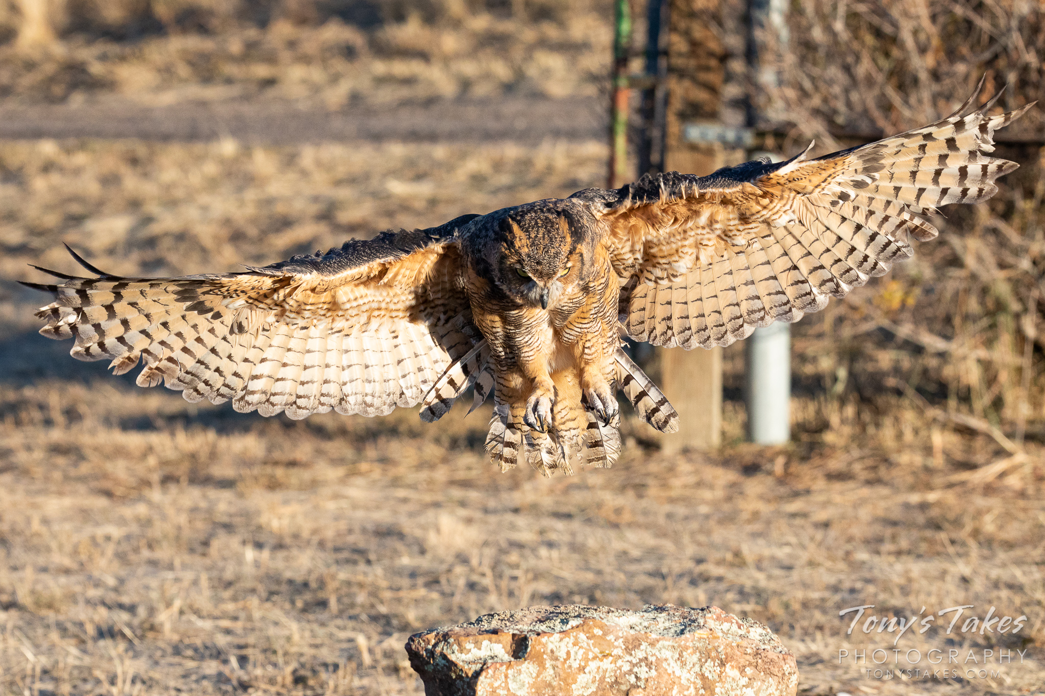 Great horned owl focuses on the landing