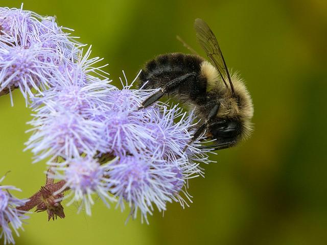 Common Eastern bumblebee on Mistflower