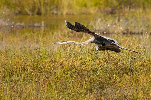 Great blue Heron in flight across marsh