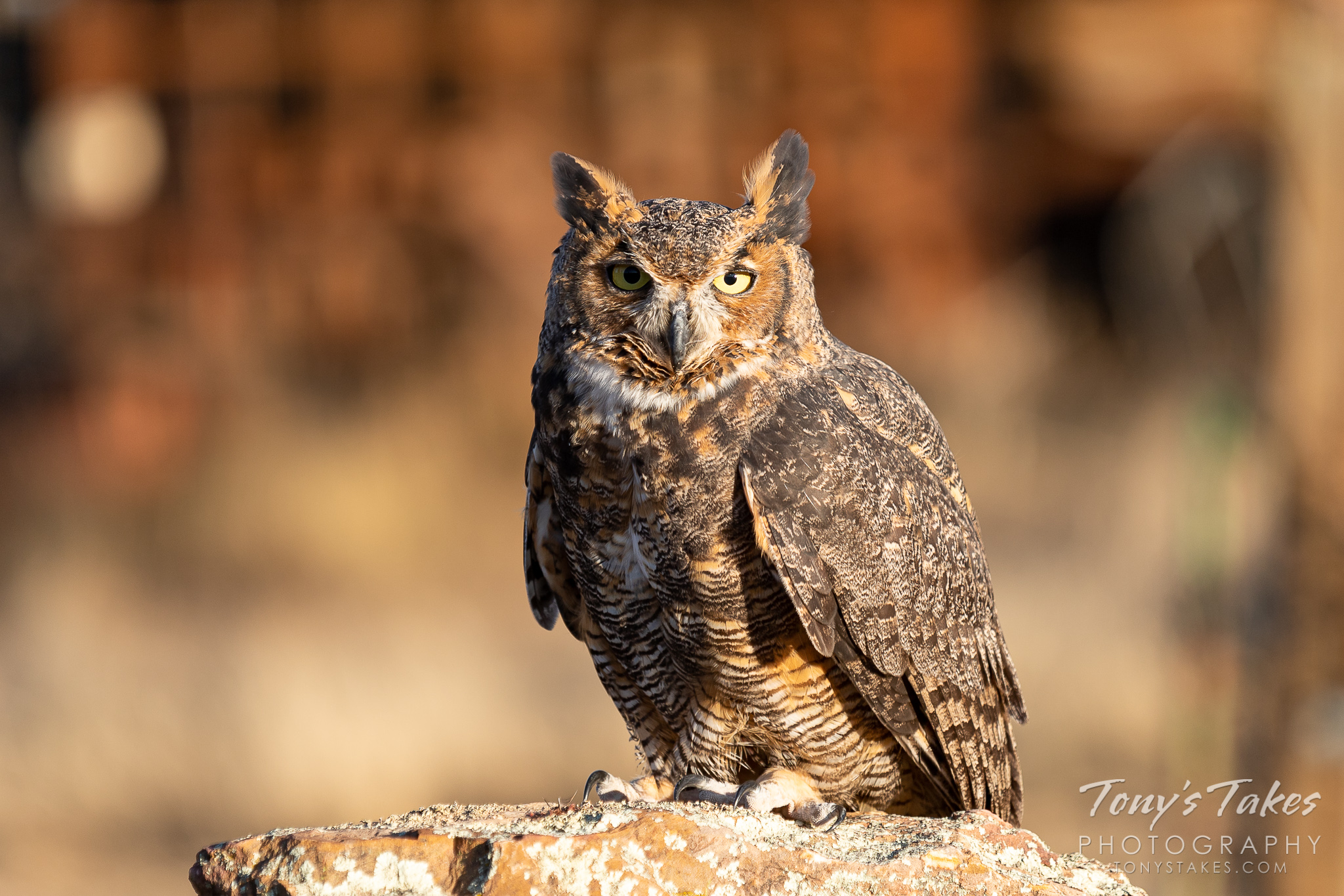 A great horned owl (captive) stays focused on the photographer. (© Tony's Takes)