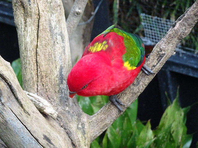Red and Green Budgie